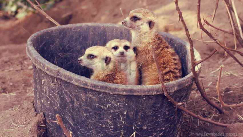 free PNG branch, bucket, family, meerkats wallpaper background best stock photos PNG images transparent