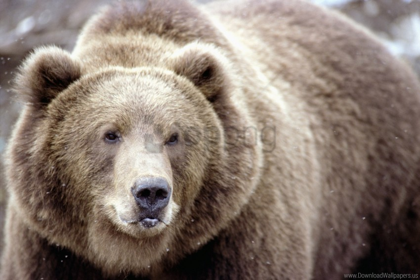 free PNG brown bear, eyes, face, snow wallpaper background best stock photos PNG images transparent