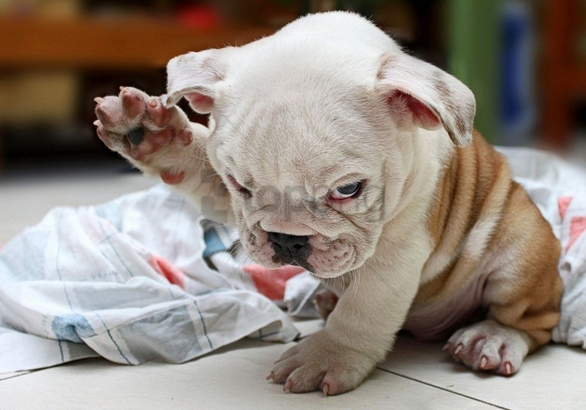 bulldog, cute, dog, fold, puppy