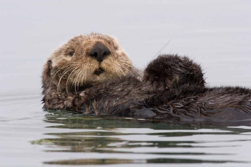 free PNG california, sea otters, sea otters, water wallpaper background best stock photos PNG images transparent