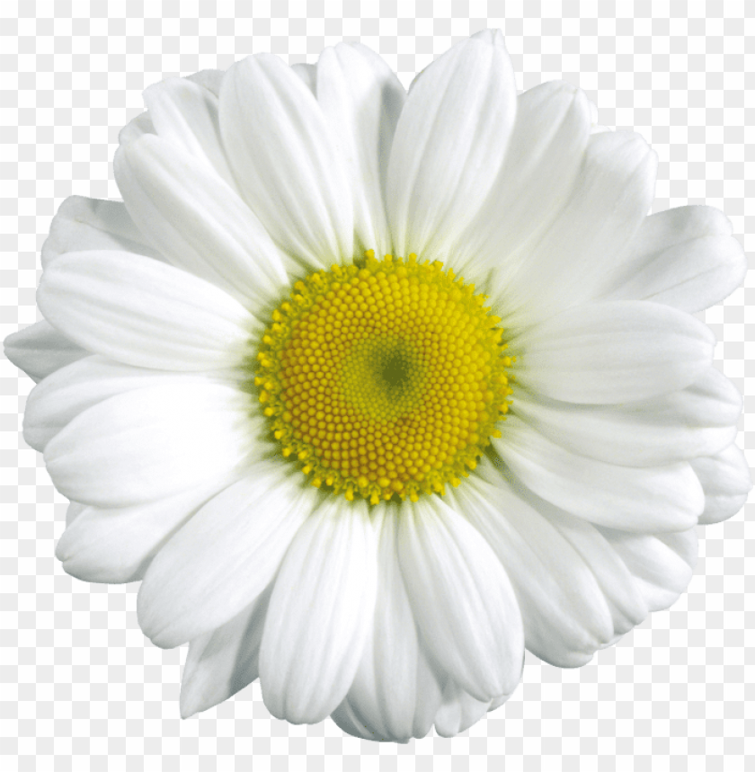 free PNG Download camomile png images background PNG images transparent