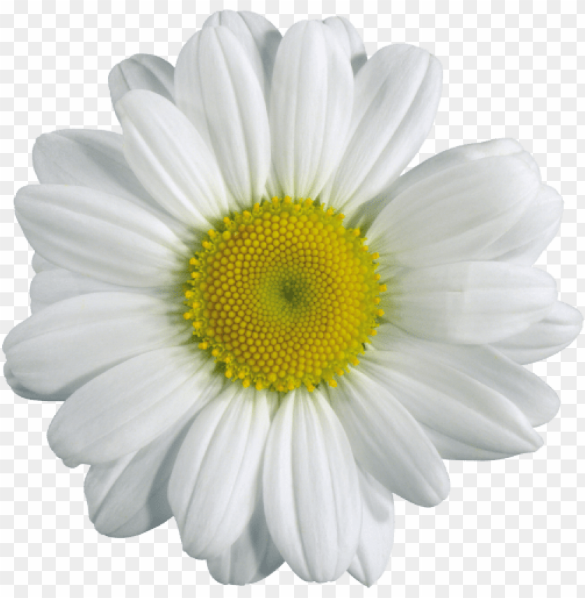 free PNG Download camomile png png images background PNG images transparent