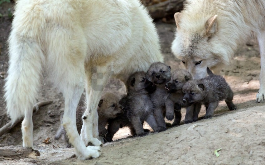 care, cubs, puppies, wolves wallpaper background best stock photos