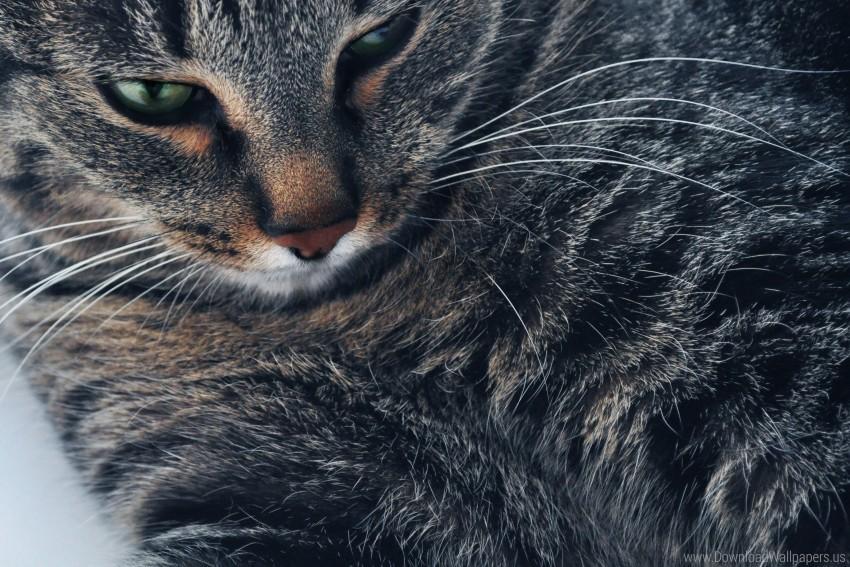 free PNG cat, cat, cat, koshak, portrait wallpaper background best stock photos PNG images transparent
