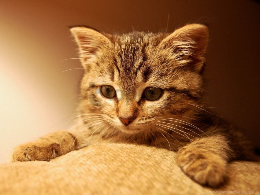 cat, cats, ginger, kitten wallpaper background best stock photos@toppng.com