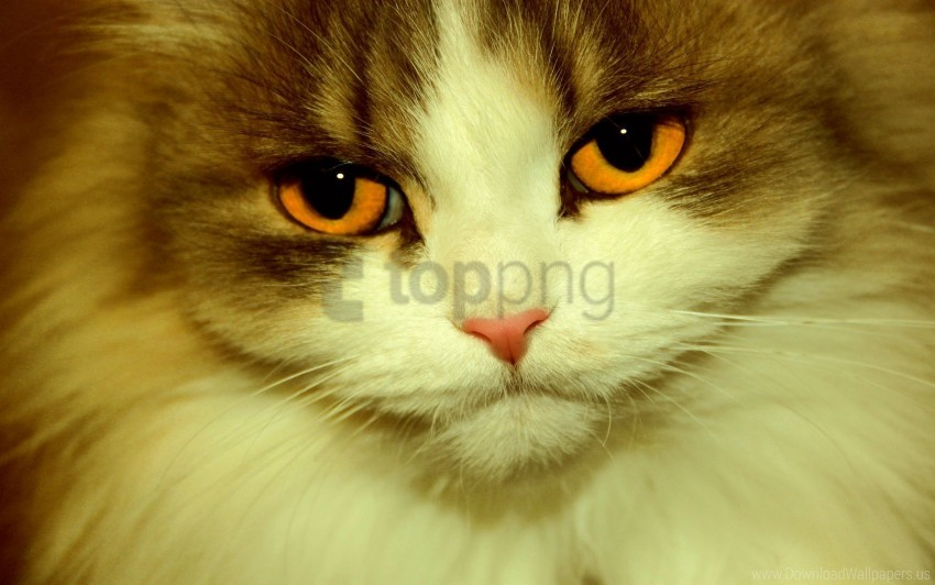 free PNG cat, charming, eyes, face, furry wallpaper background best stock photos PNG images transparent