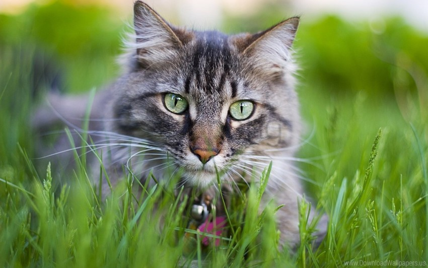 free PNG cat, collar, face, furry, grass wallpaper background best stock photos PNG images transparent