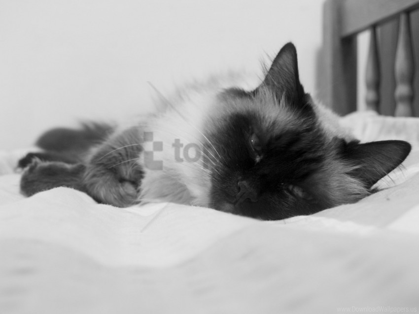 free PNG cat, color, fluffy, lying, sleeping, spotted wallpaper background best stock photos PNG images transparent