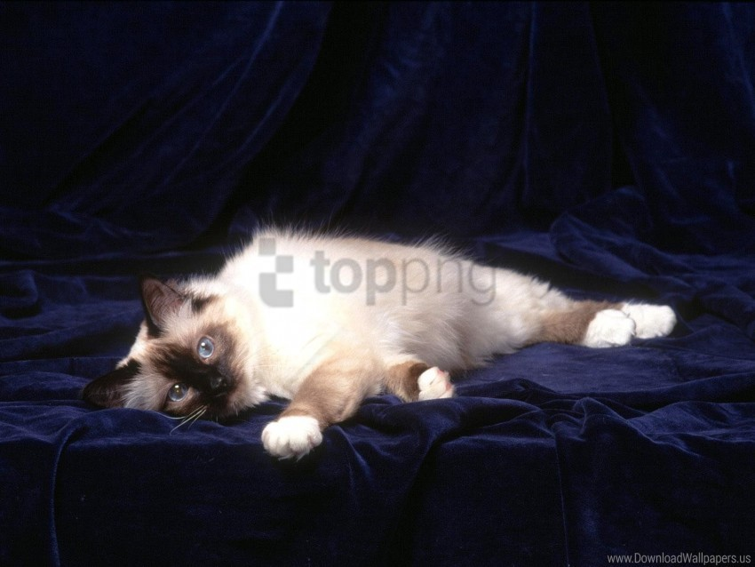 free PNG cat, down, fluffy, photo shoot wallpaper background best stock photos PNG images transparent