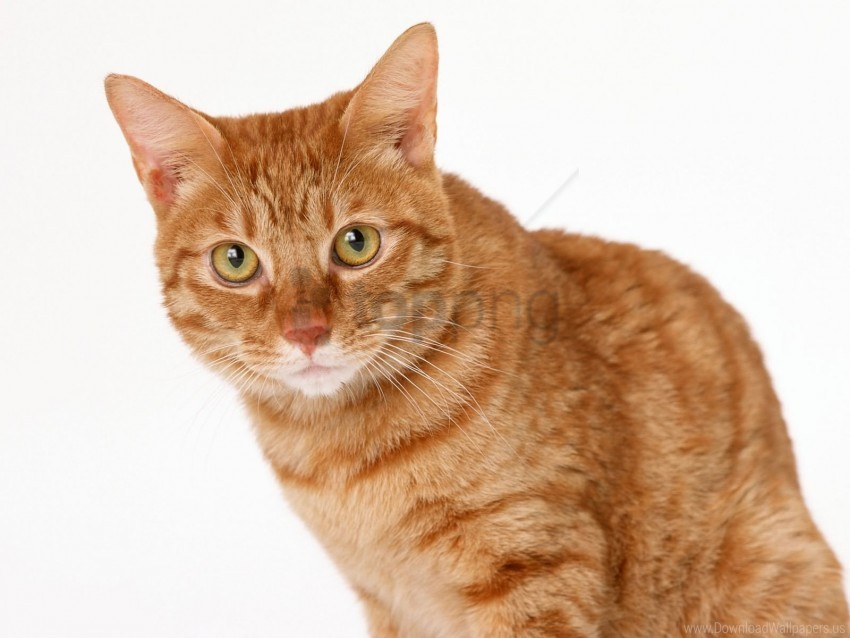 free PNG cat, eyes, ginger, tabby wallpaper background best stock photos PNG images transparent