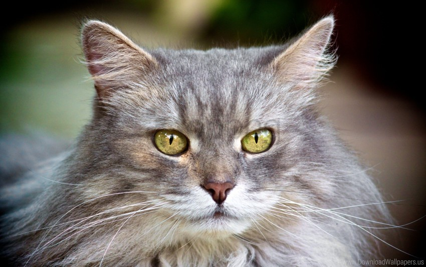 free PNG cat, face, furry, gray wallpaper background best stock photos PNG images transparent
