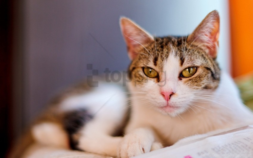free PNG cat, face, look, lying, smeared, spotted wallpaper background best stock photos PNG images transparent