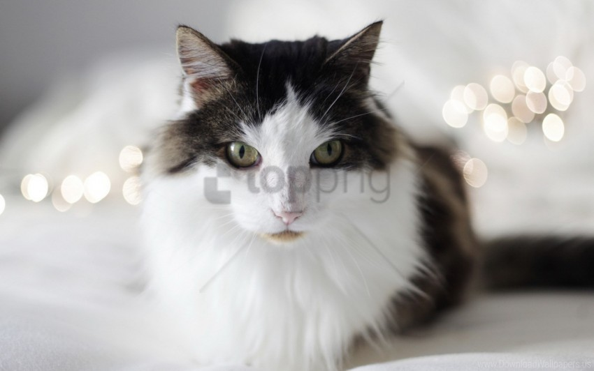 free PNG cat, fluffy, lying, thick wallpaper background best stock photos PNG images transparent