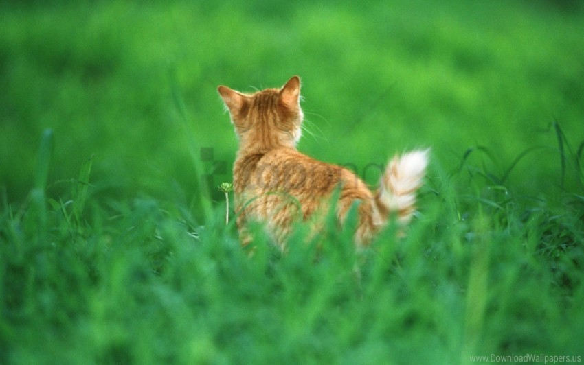 free PNG cat, ginger, grass, tail wallpaper background best stock photos PNG images transparent