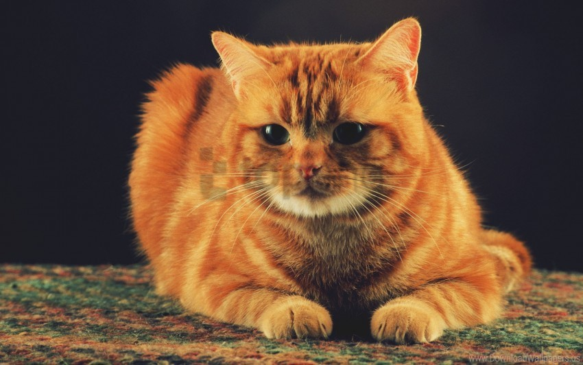 free PNG cat, ginger, sitting wallpaper background best stock photos PNG images transparent