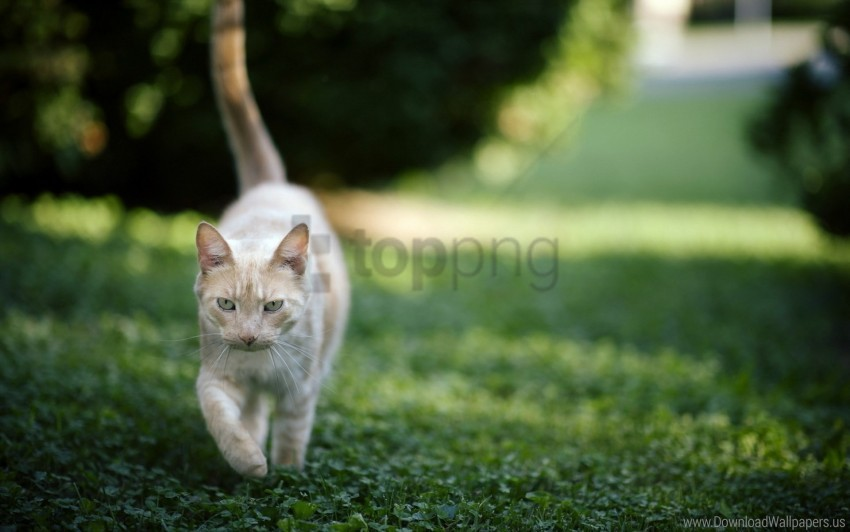 free PNG cat, grass, nature, walk wallpaper background best stock photos PNG images transparent