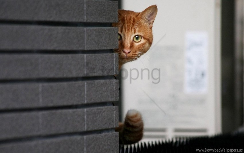 free PNG cat, hide, peek, wall wallpaper background best stock photos PNG images transparent