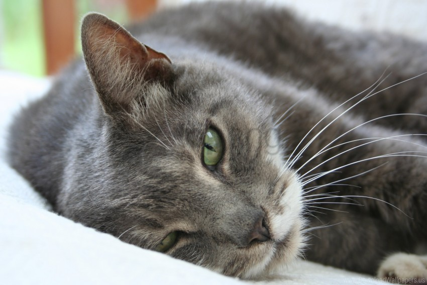 free PNG cat, lie, look, muzzle, sleep, sleepy wallpaper background best stock photos PNG images transparent