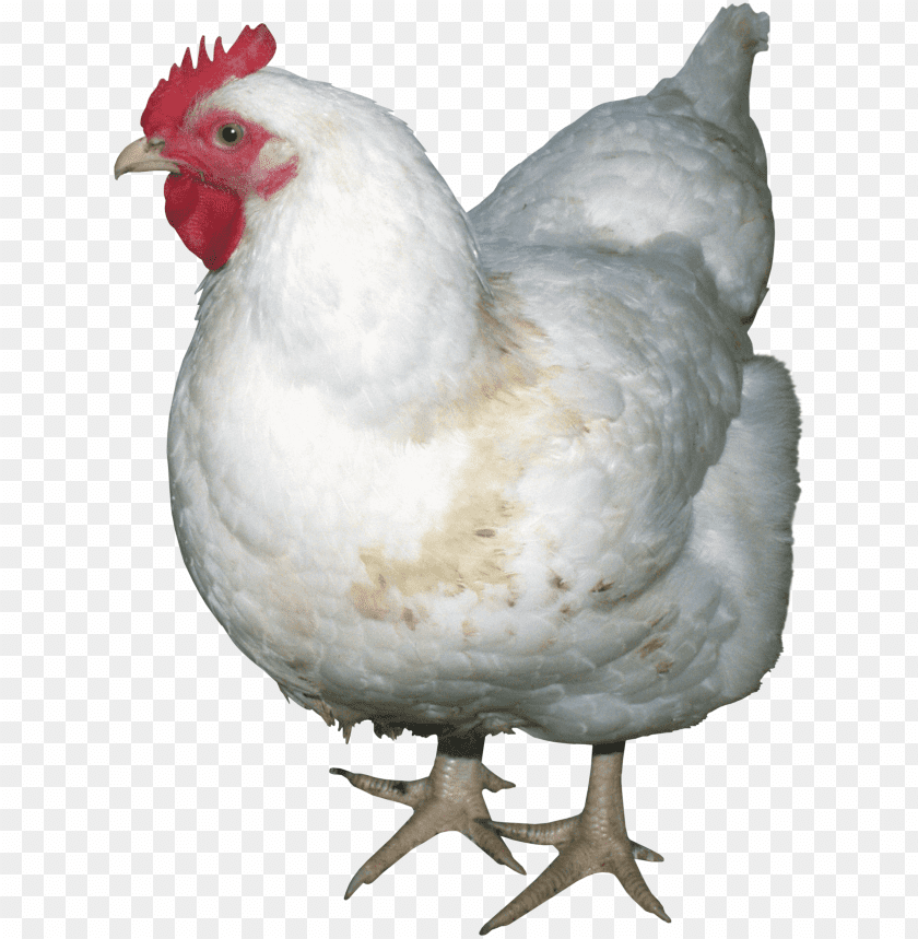 free png chicken PNG images transparent