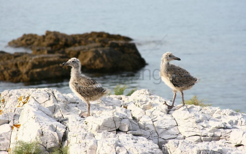 free PNG chicks, rock, sea wallpaper background best stock photos PNG images transparent