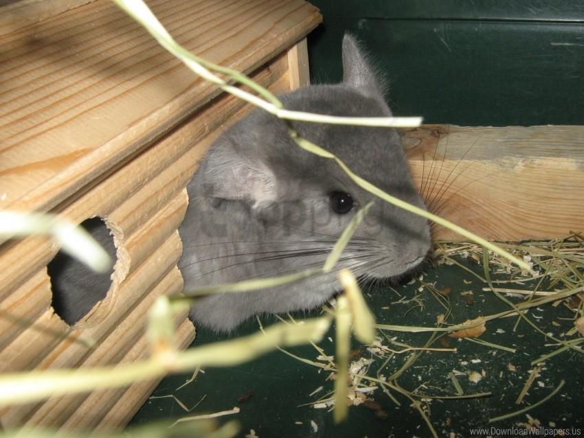 free PNG chinchilla, grass, house, mink wallpaper background best stock photos PNG images transparent