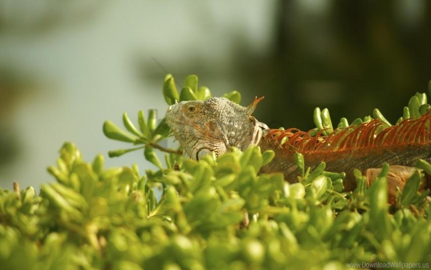 free PNG climbing, grass, iguana, plant wallpaper background best stock photos PNG images transparent