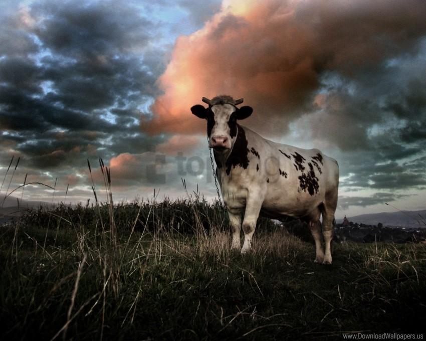 cloudy, cow, field, grass wallpaper background best stock photos