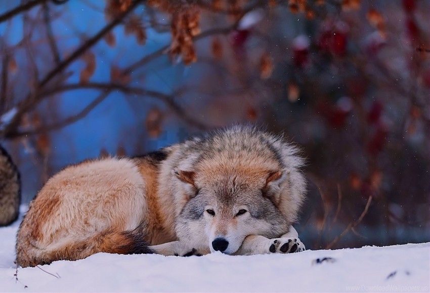 free PNG cold, forest, lying, snow, trees, wolf wallpaper background best stock photos PNG images transparent