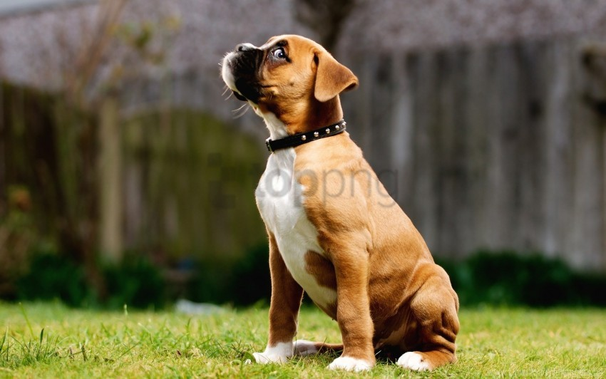 free PNG collar, grass, puppy, walk wallpaper background best stock photos PNG images transparent