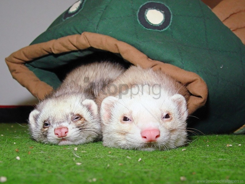 free PNG couple, ferrets, sleeping wallpaper background best stock photos PNG images transparent