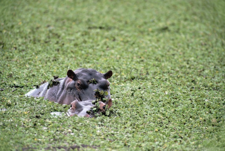 free PNG couple, hippos, pond, thickets wallpaper background best stock photos PNG images transparent