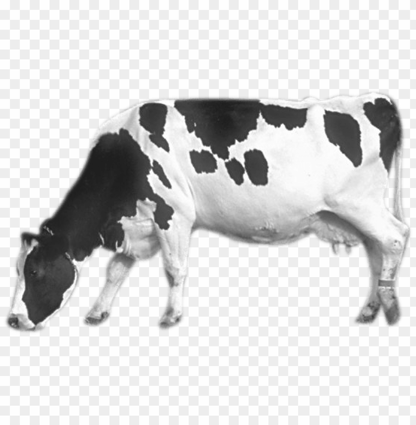 free PNG Download cow png images background PNG images transparent