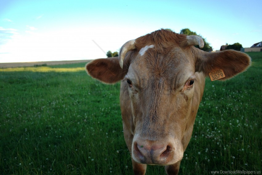 free PNG cow, field, meadow wallpaper background best stock photos PNG images transparent