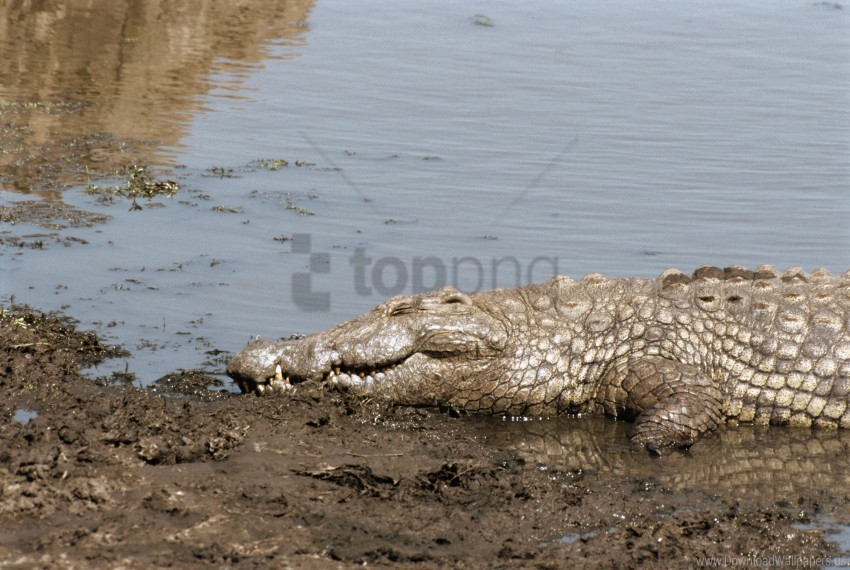 free PNG crocodile, shore, sun, tanning, water wallpaper background best stock photos PNG images transparent