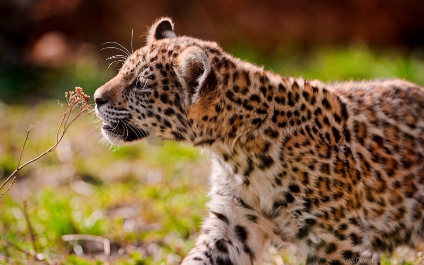free PNG cub, eyes, grass, jaguar, walk wallpaper background best stock photos PNG images transparent