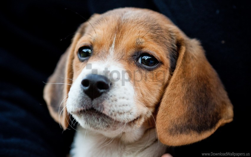 free PNG cute, ears, puppy, snout wallpaper background best stock photos PNG images transparent