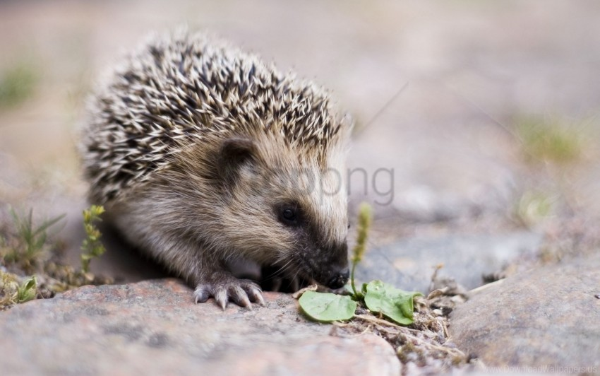 free PNG cute, hedgehog, nose, spiny wallpaper background best stock photos PNG images transparent