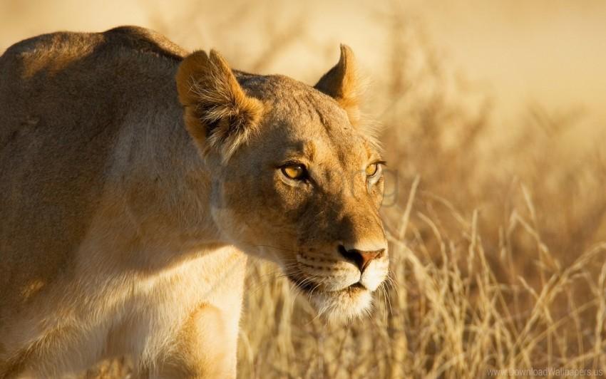 free PNG danger, face, hunting, lion wallpaper background best stock photos PNG images transparent