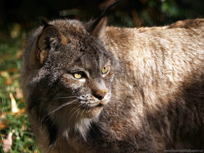 free PNG dangerous, lynx, old, terrible wallpaper background best stock photos PNG images transparent