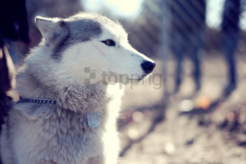 free PNG dog, dog, eyes, face, husky, husky, park wallpaper background best stock photos PNG images transparent