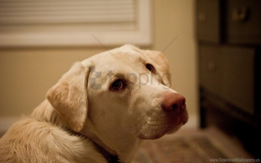free PNG dog, face, labrador, look wallpaper background best stock photos PNG images transparent