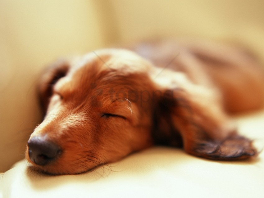 free PNG dog, fluffy, muzzle, sleep wallpaper background best stock photos PNG images transparent