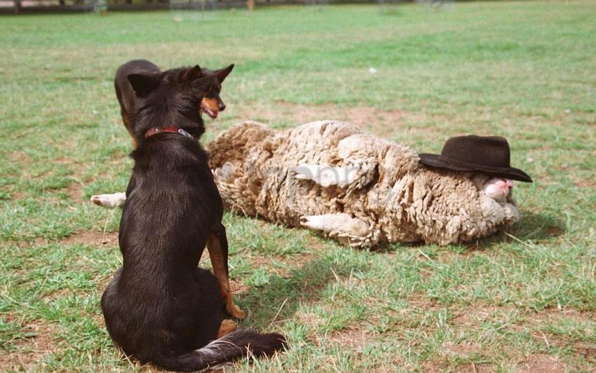 free PNG dog, grass, lie, sheep wallpaper background best stock photos PNG images transparent