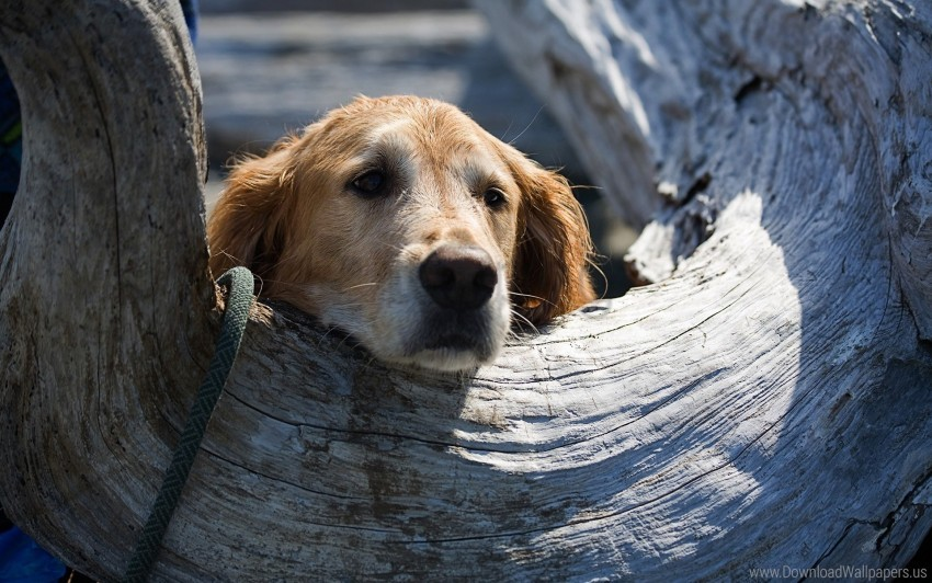 free PNG dog, hollow, muzzle, wood wallpaper background best stock photos PNG images transparent