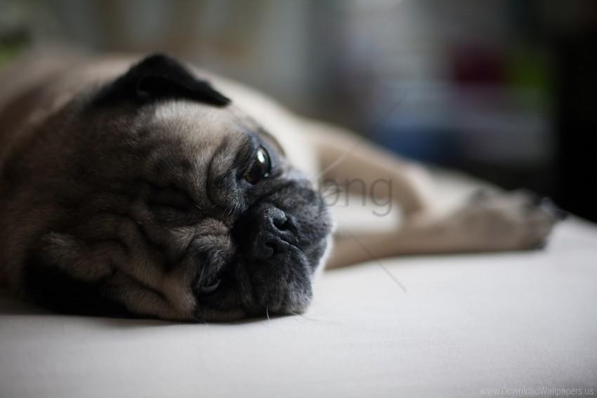 dog, lies, muzzle, pug wallpaper background best stock photos
