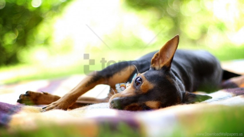 free PNG dog, lying, rest, small wallpaper background best stock photos PNG images transparent