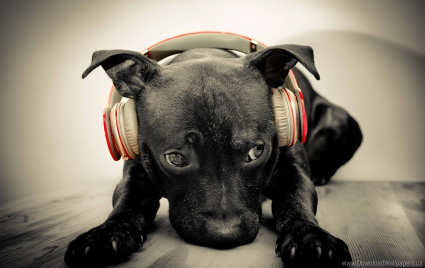 free PNG dog muzzle, headphones, music wallpaper background best stock photos PNG images transparent