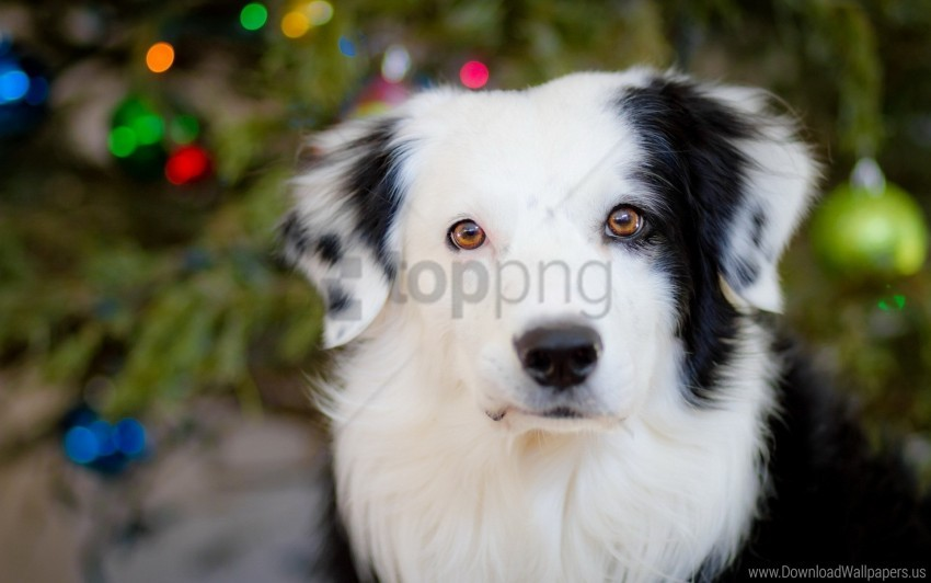 free PNG dog, muzzle, spotted wallpaper background best stock photos PNG images transparent