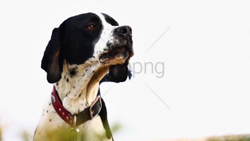 free PNG dog, muzzle, stylish collar wallpaper background best stock photos PNG images transparent