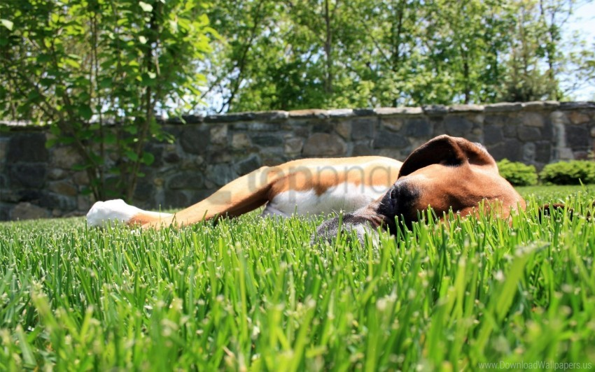 free PNG dogs, grass, sleep, sunlight wallpaper background best stock photos PNG images transparent